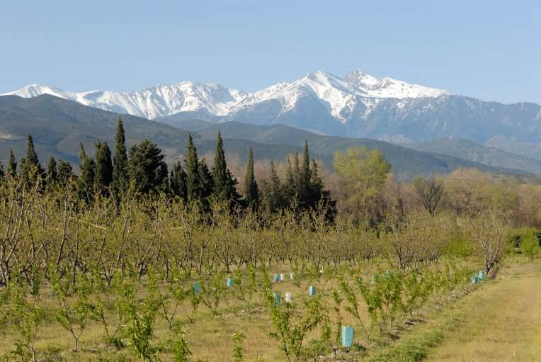 PYRENEES ORIENTALES Ille-sur-Têt Vignoble avec Mont Canigou à l'arrière-plan