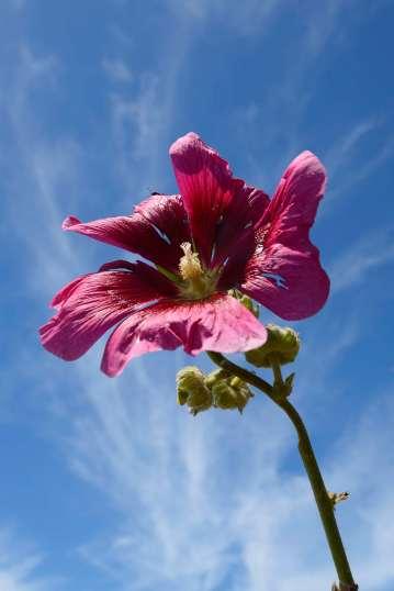 CHARENTE-MARITIME Rose trémière