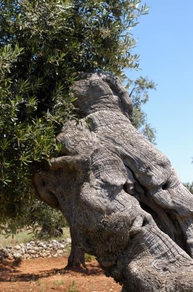 ITALIE - Pouille Tronc d'un olivier centenaire, vers Ostuni