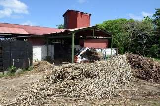 GUADELOUPE Marie-Galante Distillerie du Père Labat Cannes à sucre coupées à la main, attendant d'être broyées