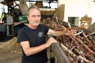 GUADELOUPE Marie-Galante Distillerie du Père Labat Francis Garnier montre la canne à sucre entière sur le tapis qui mène à la broyeuse