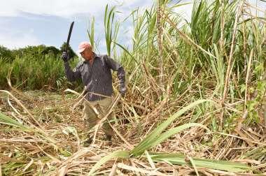 GUADELOUPE Marie-Galante Au centre de l'île, Gabriel, 70 ans, coupe seul sa parcelle de cannes à sucre