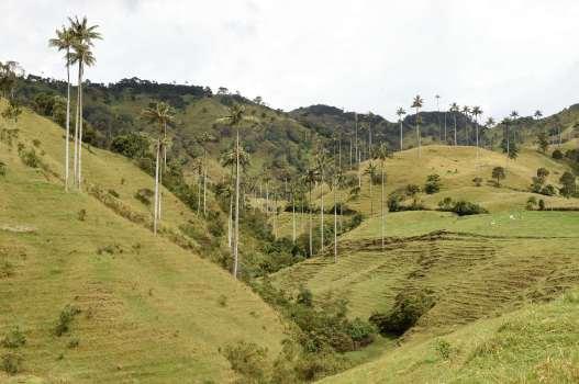 COLOMBIE - St-Félix Vallée de Samaria, région agricole et d'élevage où poussent les palmiers de cire