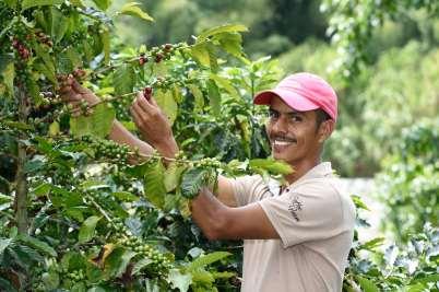 COLOMBIE - Manizales Hacienda Venecia Leonardo, cueilleur de café dans la plantation