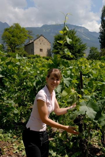 SUISSE - Valais Sur le sentier viticole reliant Sierre à Salquenen, près de l'ancienne maison de Rainer Maria Rilke, à Muzot