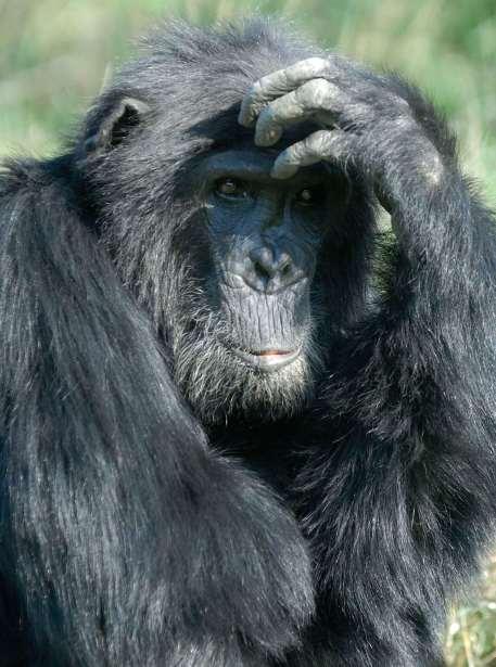 KENYA Réserve de Sweet-Water Sanctuaire de chimpanzés