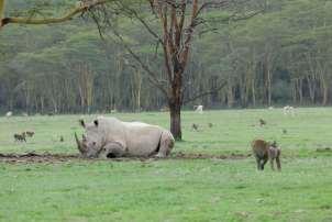KENYA Parc de Nakuru Rhinocéros blanc