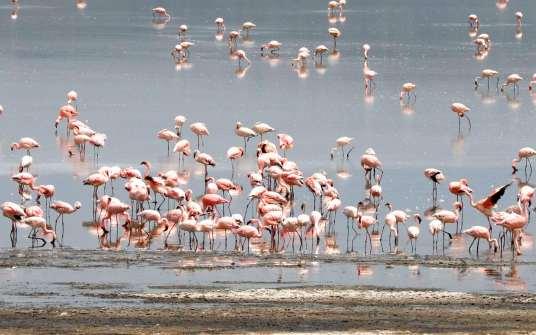 KENYA Parc de Nakuru Flamands roses sur le lac salé.