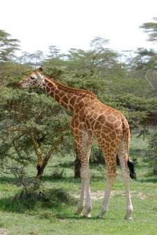 KENYA Parc de Nakuru Girafe