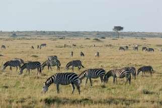 KENYA Maasaï Mara Zèbres