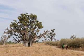 SENEGAL Petite Côte Baobab géant vers Mbour