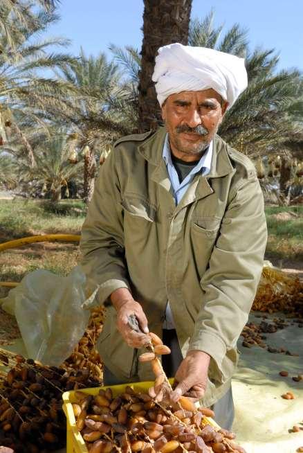 TUNISIE - Douz Récolte des dattes dans une palmeraie de Nouaiel