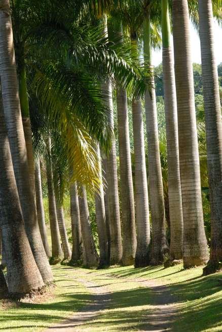 MARTINIQUE Distillerie Clément Allée de palmiers