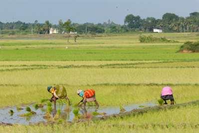 INDE du SUD Paysans dans une rizière vers Pondichéry