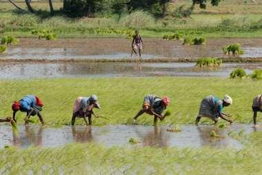 INDE du SUD Travail dans une rizière entre Tanjore et Madurai