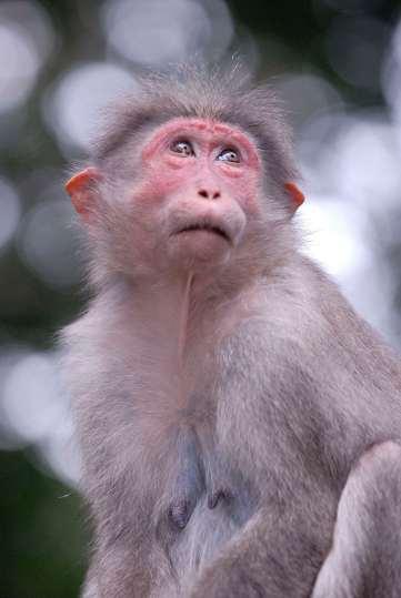 INDE du SUD Kerala Periyar Macaque