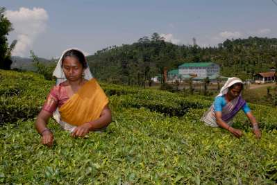 INDE du SUD Kerala Récolte du thé dans les montagnes de Cardamom