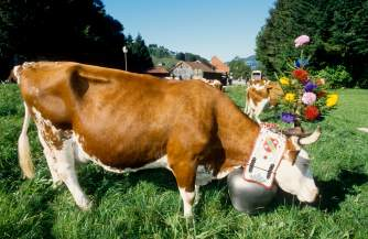 Vache pendant la désalpe de Charmey