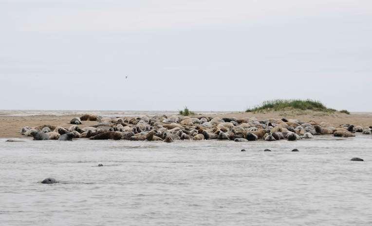 CANADA NOUVEAU-BRUNSWICK Parc national de Kouchibougnac Colonie de loups marins (phoques gris)