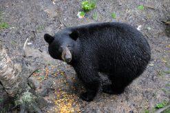 CANADA NOUVEAU-BRUNSWICK Acadieville Chez Roger Goguen, on peut voir des ours noirs dans une cabane dans les arbres
