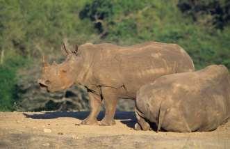 AFRIQUE du SUD Rhinocéros blanc dans la réserve de Hluhluwe