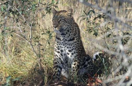 AFRIQUE du SUD Léopard dans la réserve de Sabie Sand