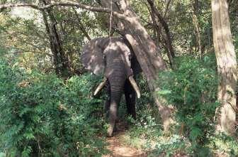 AFRIQUE du SUD Parc Krüger Eléphant énervé