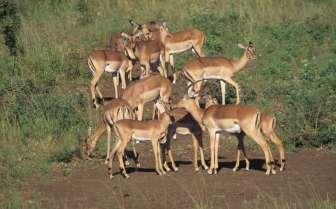 AFRIQUE du SUD Parc Krüger Antilopes