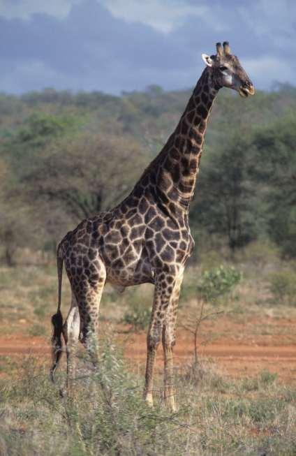 AFRIQUE du SUD Parc Krüger Girafe