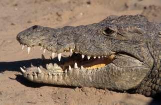AFRIQUE du SUD Kwazulu Natal Crocodile à Dumazulu