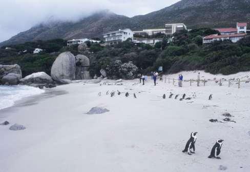 AFRIQUE du SUD Le Cap La plage aux pingouins