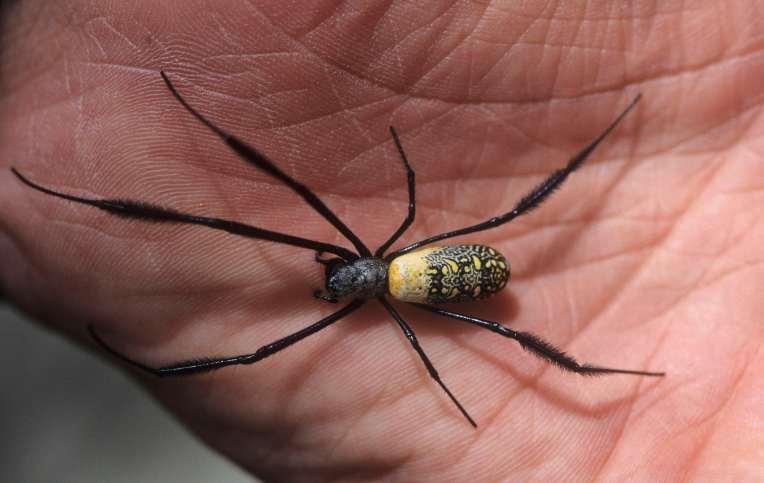 AFRIQUE du SUD Araignée inoffensive