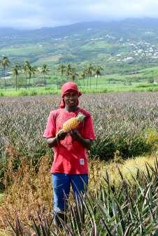 L'ananas Victoria de LA REUNION Champ d'ananas à St-Louis Mathias, jeune coupeur d'ananas