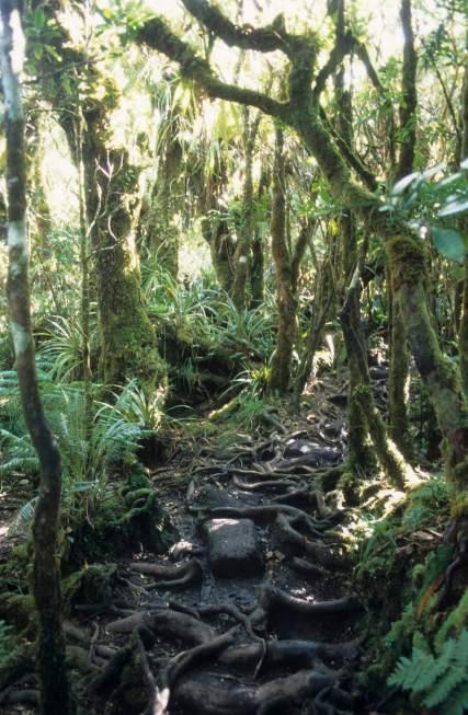 LA REUNION Forêt primaire à Bélouve