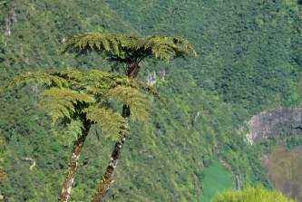 LA REUNION Fougères arborescentes à Bélouve