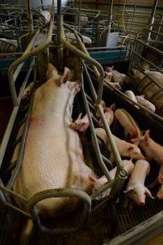 Jambon sec des Ardennes Truies dans l'élevage de porcs de Clavy-Warby