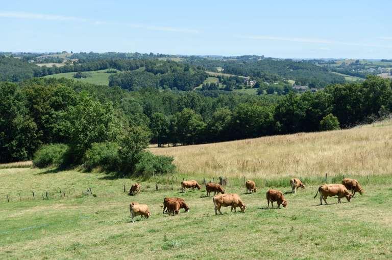 Veau sous la mère du Limousin