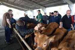 CORREZE Brive-la-Gaillarde Au foirail de veaux sous la mère, les acheteurs évaluent les bêtes et discutent des prix en francs