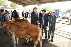 CORREZE Brive-la-Gaillarde Au foirail de veaux sous la mère, un acheteur a trouvé un accord avec l'éleveur Didier Veysset accompagné de son jeune fils Maxime