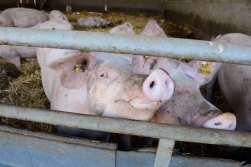 ALSACE A Schleithal, élevage de porcs fermiers bio Schweitzer Les truies allaitantes sont dans de grands enclos sur paille