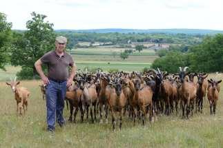 LOT Le Rocamadour Aux Alix, un hameau de Rocamadour, avec Alain Lacoste et son troupeau de 150 chèvres alpines ou saanen