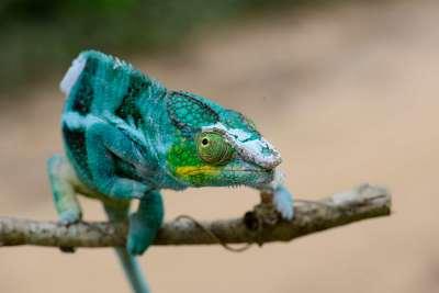 MADAGASCAR Camémeon en mue