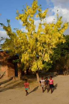 MADAGASCAR Acacia en fleurs vers l'Iharana Bush camp