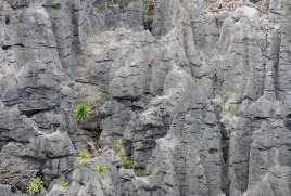 MADAGASCAR Lémuriens coronatus dans les tsingy de l'Ankarana