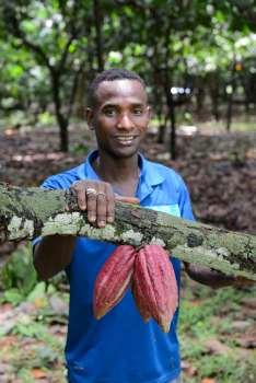 MADAGASCAR Ambanja, à la plantation Millot Cabosses de cacao Trinitario, avec le guide Axel