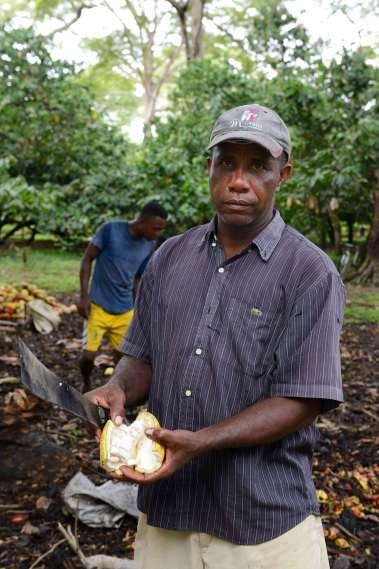 MADAGASCAR Ambanja, à la plantation Millot Ouverture des cabosses pour récupérer les fèves de cacao