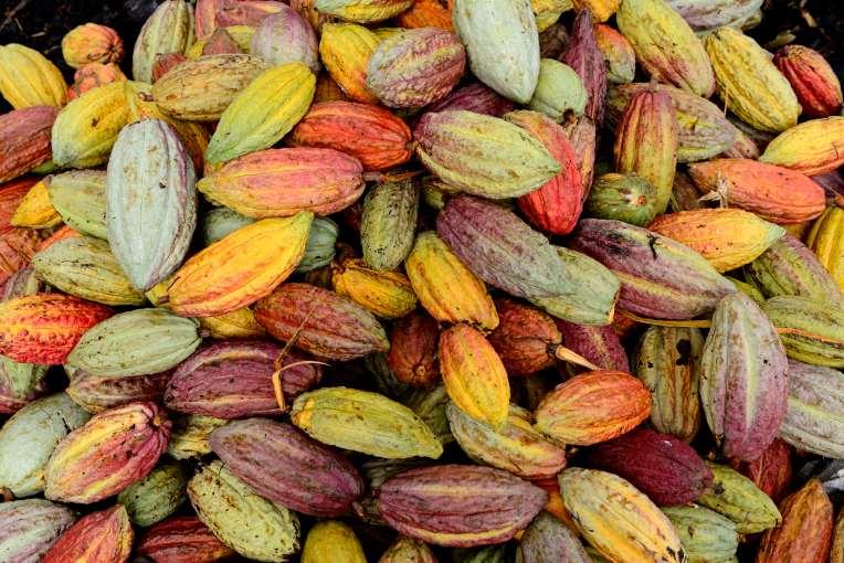 MADAGASCAR Ambanja, à la plantation Millot Cabosses de cacao (variétés mélangées)