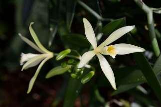 "Polynésie Française Raiatea Fleur de vanille ""Vanilla Tahitensis"""