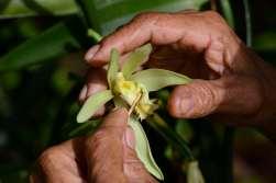 """Polynésie Française Raiatea Fécondation manuelle de la fleur de vanille """"Vanilla Tahitensis"""""""