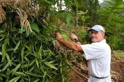 Polynésie Française Raiatea Dans sa plantation située à Opoa, Charly élague l'arbre-tuteur qui fait de l'ombre à son plant de vanille
